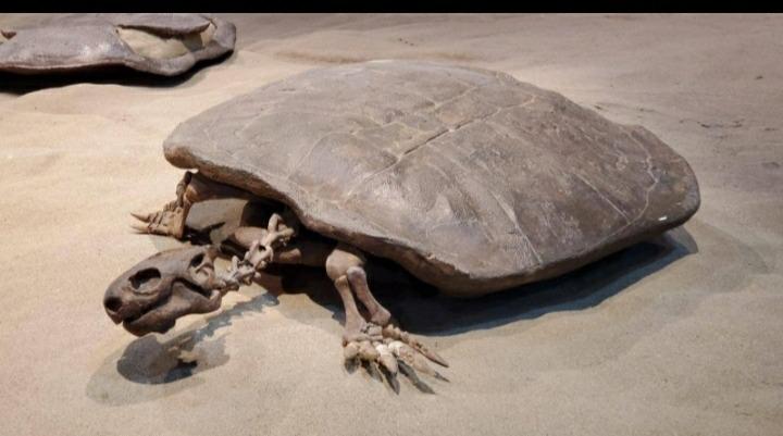 سلحفاة بحجم انسان وبيضة مثل كرة التنس... اكتشاف عمره 90 مليون سنة